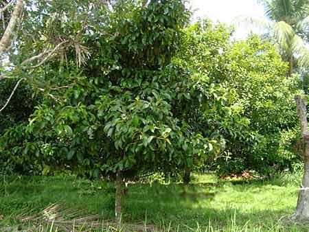 Mangostan-Baum