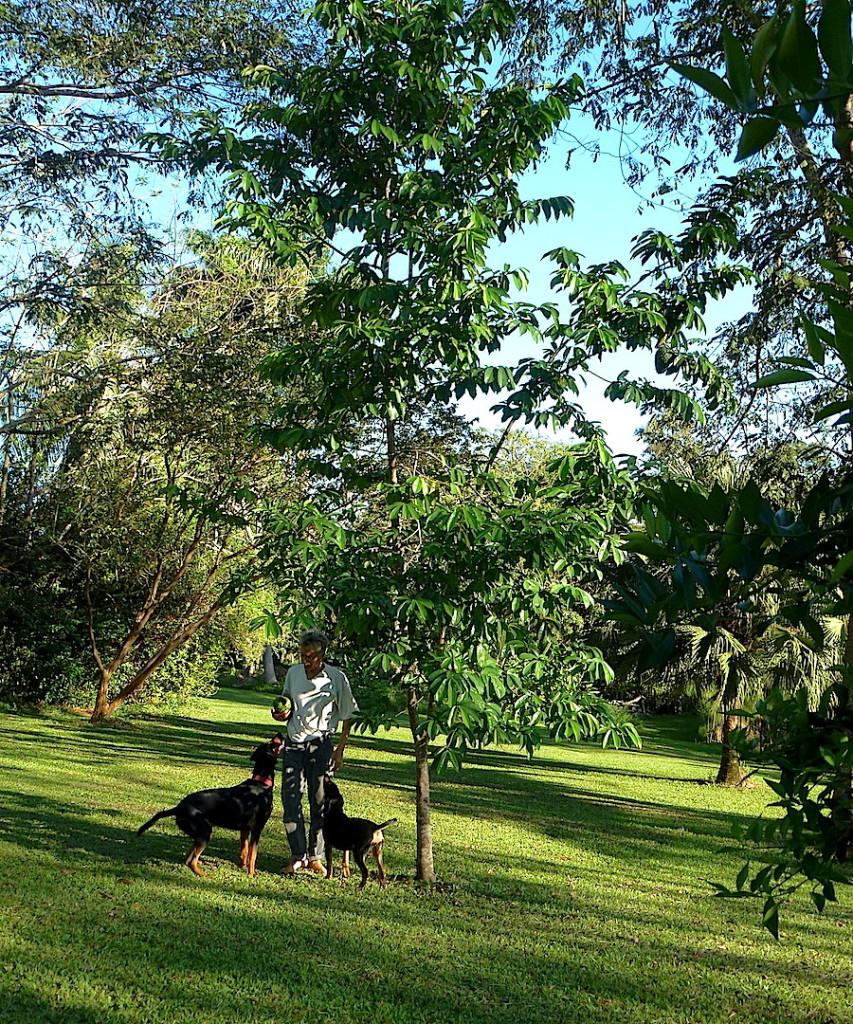 Guanabana - Graviola-Baum