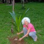 Kokospalme pflanzen