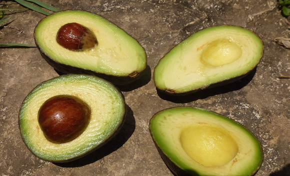 Ursprungsland Der Avocado